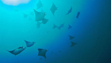 school-of-manta-rays-humboldt-explorer-g