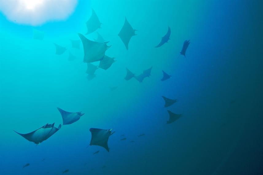 school-of-manta-rays-humboldt-explorer-g