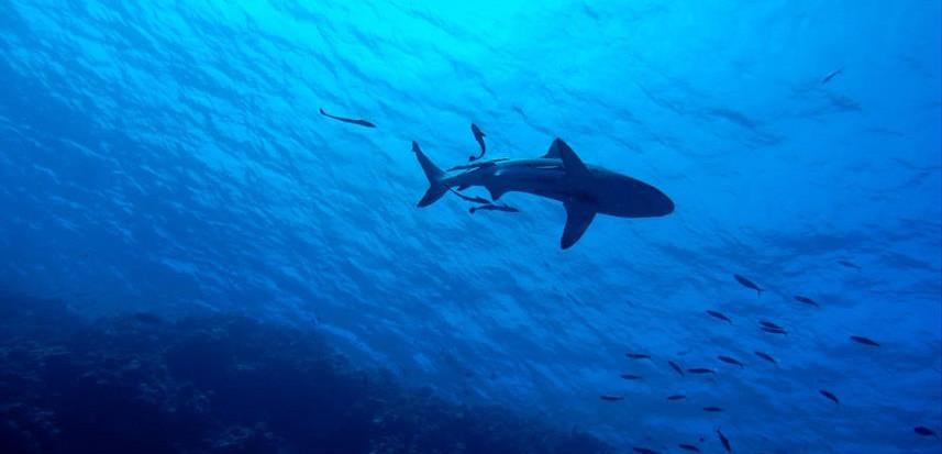 shark-2683184_1920w857h570crwidth857crhe