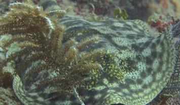 yellow-stingray-cayos-cochinosw857h570cr