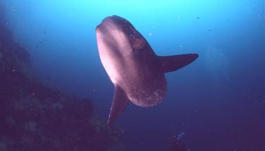 mola-mola-Galapagos-scuba-divingw857h570