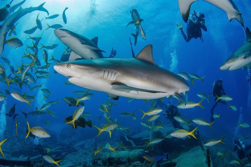 arribada_sharks_on_austinw857h570crwidth