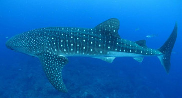 whale-sharkw857h570crwidth857crheight570