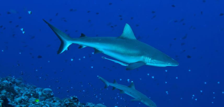 sharks2_bluecornerw857h570crwidth857crhe