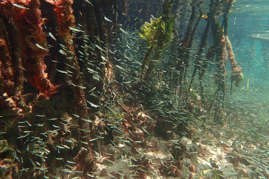 mangrove-nursery-port-royalw857h570crwid