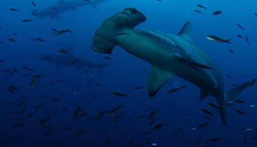 scalloped-hammerhead-galapagosw857h570cr