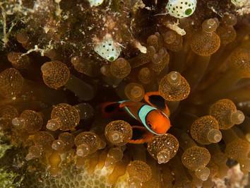 solomon_islands_anemonefish_2_hrw857h570