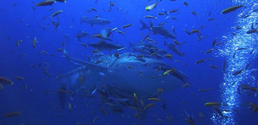 whale-shark-2w857h570crwidth857crheight5