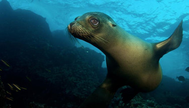sea-lion-big-eyes-underwater-humboldt-ex