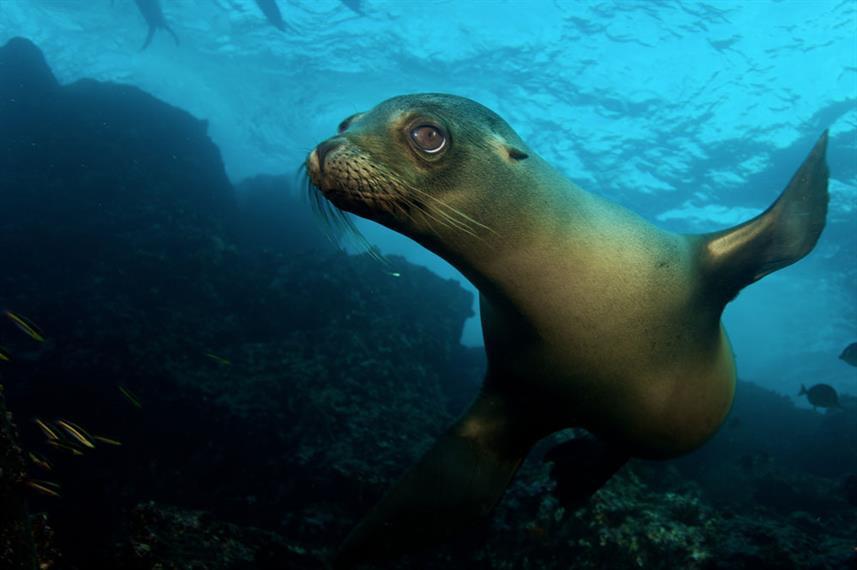 sea-lion-big-eyes-underwater-humboldt-ex
