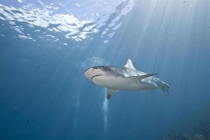 tiger-shark-undersea-hunter-groupw857h57