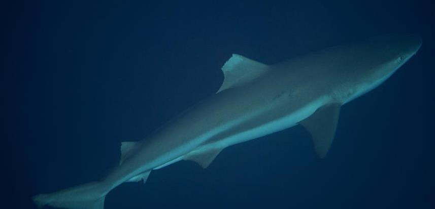 solomon_islands_blacktip_reef_shark_hrw8