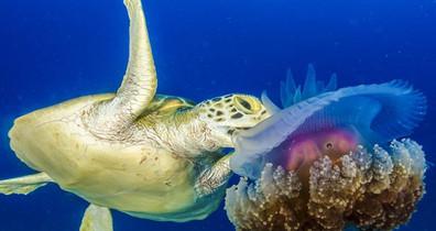 Turtle-Jellyfishw857h570crwidth857crheig