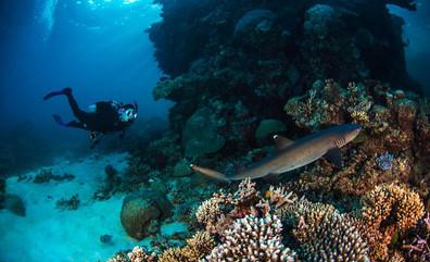 ProDiveCairns_Diver-Sharkw857h570crwidth