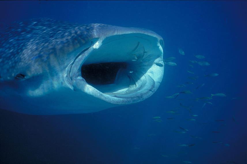 whalesharkopenjawsamos-nachoum_previeww8