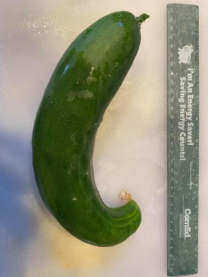 My First Cucumber (by Covid Farmer)