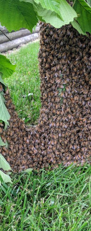 Swarm on a chestnut bush