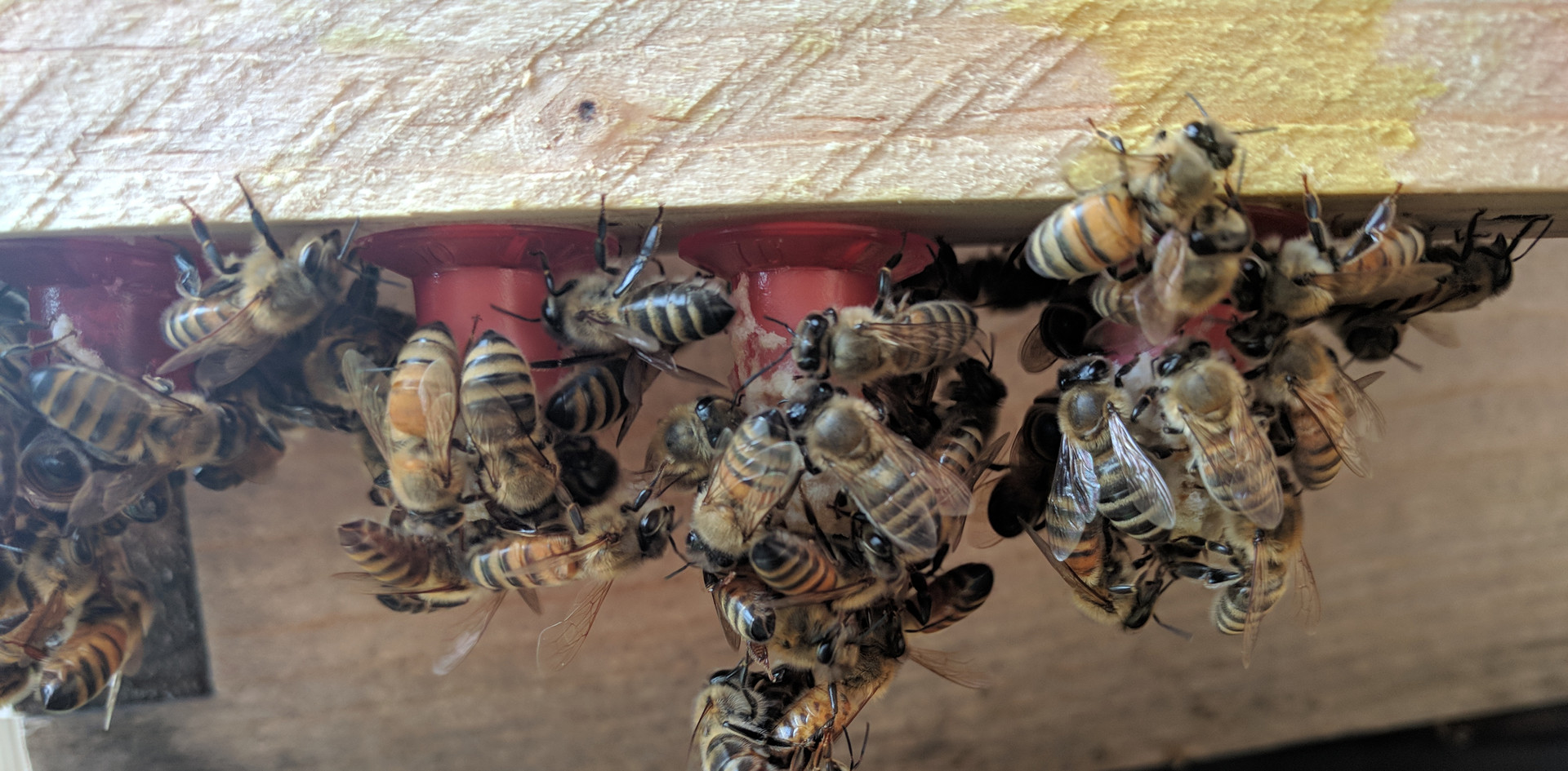 Nurse bees feeding royal jelly