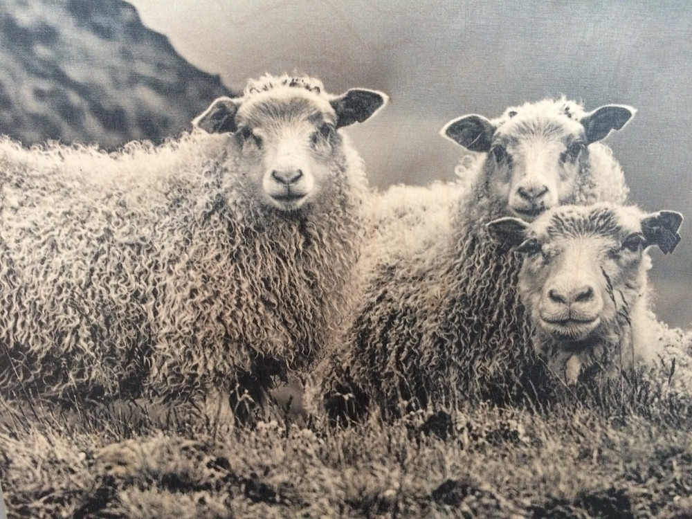 Typical sheep with thick coats.