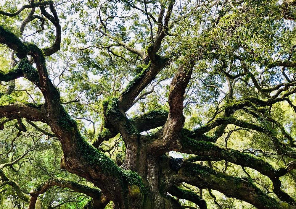 The Angel Oak Tree near Charleston, South Carolina
