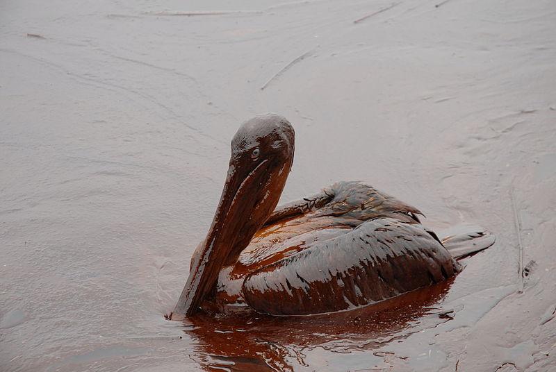 LFR - Oiled Pelicans - Wikimedia Commons