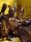 LFR - Gulf Oiled Pelicans-June-3-2010 -
