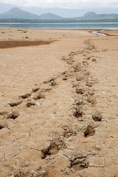 Flodhestespor i mudder ved Naivasha søen.
