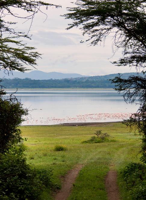 Flamingoer i Naivasha søen.