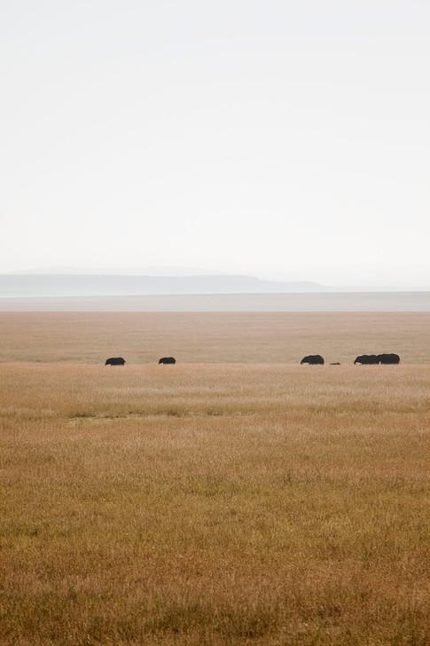 En flok elefanter på vandring.