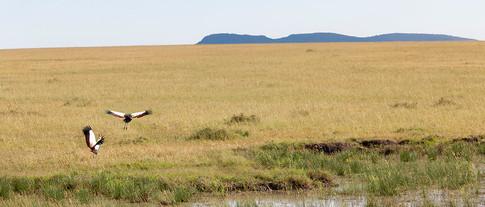 Krontraner på savannen.