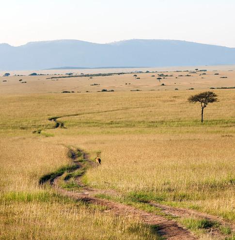 En enlig hyæne vandrer på spor på savannen.