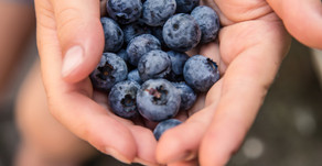 The humble Blueberry:  nutritional health benefits, a delicious snack and much much more