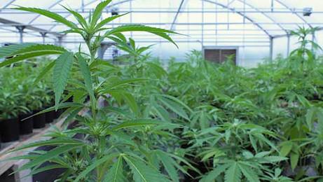 עבירות גידול וייצור סמים