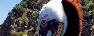 Pelican Crop.png