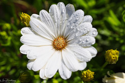 white flower with drops.jpeg