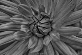 Flower8 bw.jpeg