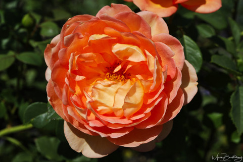 orange rose.jpeg