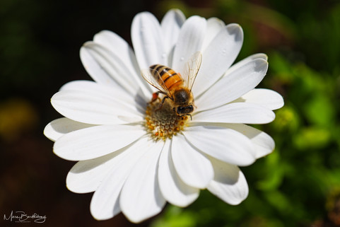 white flower with bee.jpeg
