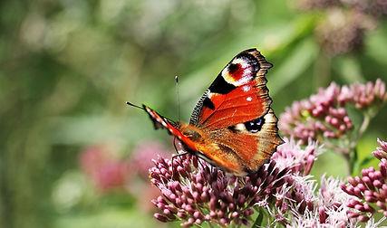 papillon1.jpg