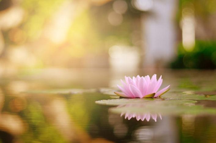 beautiful-lotus-flower-water-after-rain-