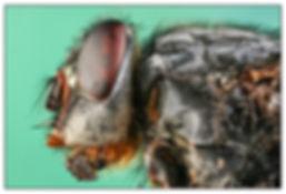 House Fly Closeup.JPG