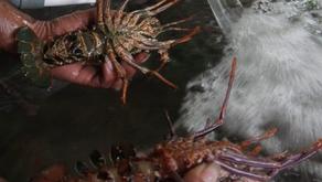 Bibit Lobster dari Indonesia Masih Menjadi Incaran Para Penyelundup