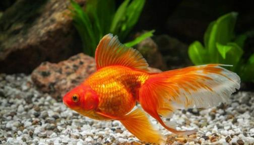 Memperpanjang Usia Ikan Mas Koki agar Tidak Cepat Mati