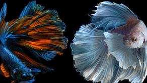 Cegah DBD, Dinkes Sarankan Warga Cimahi Pelihara Ikan Cupang