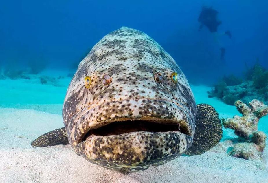 11 Jenis Ikan Kerapu Termahal Di Indonesia