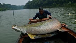 Dikenal Ganas, Ikan Arapaima juga Memiliki Rasa yang Enak