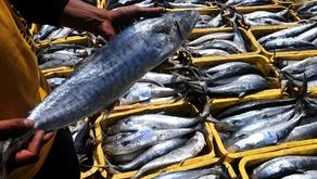 Peluang Usaha Budidaya Ikan Tenggiri