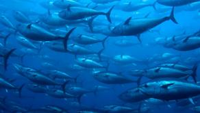 Studi Mengungkapkan Populasi Ikan di Lautan Menurun Drastis