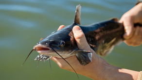 Budidaya Ikan Lele Dengan Modal 2 Jutaan