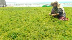 Rumput Laut Dapat Tingkatkan Daya Tahan Tubuh Ikan